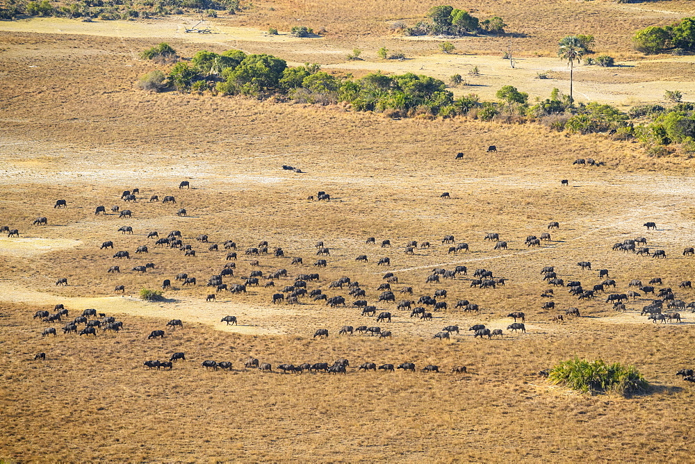 Aerial view of a herd of African buffalo (Cape Buffalo) (Syncerus caffer), Macatoo, Okavango Delta, Botswana, Africa