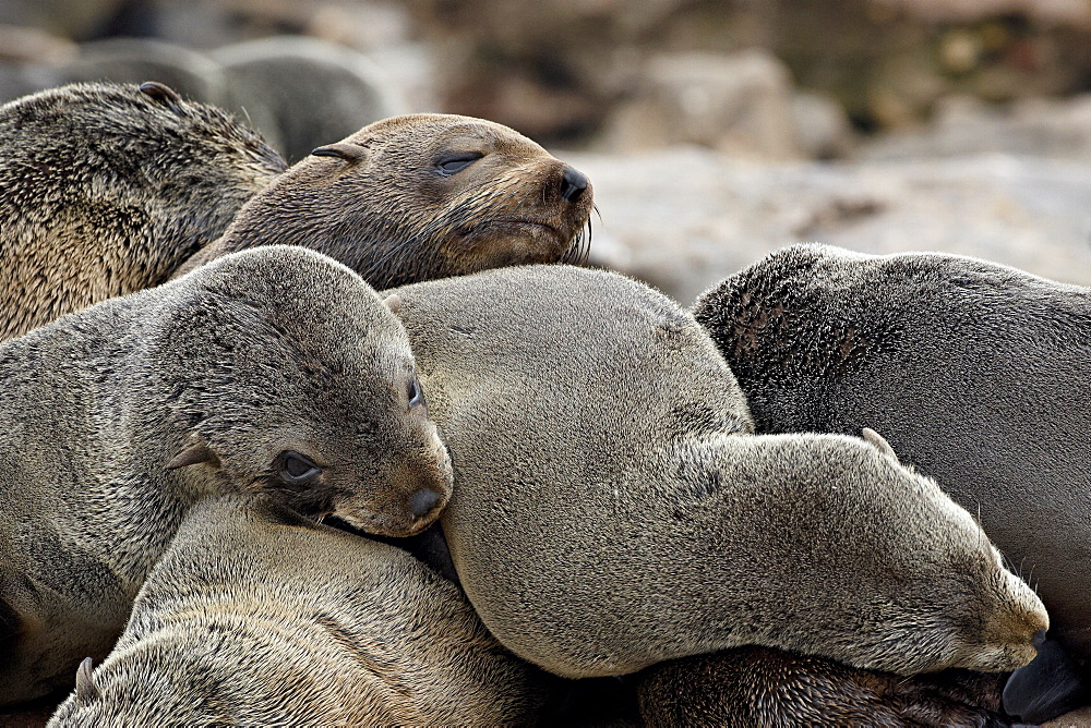 Cluster of Cape fur seal (South African fur seal) (Arctocephalus pusillus), Elands Bay, Western Cape Province, South Africa, Africa
