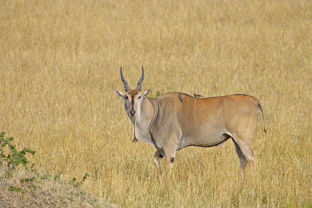 Common eland (Taurotragus oryx) with red-billed oxpecker (Buphagus erythrorhynchus), Masai Mara National Reserve, Kenya, East Africa, Africa