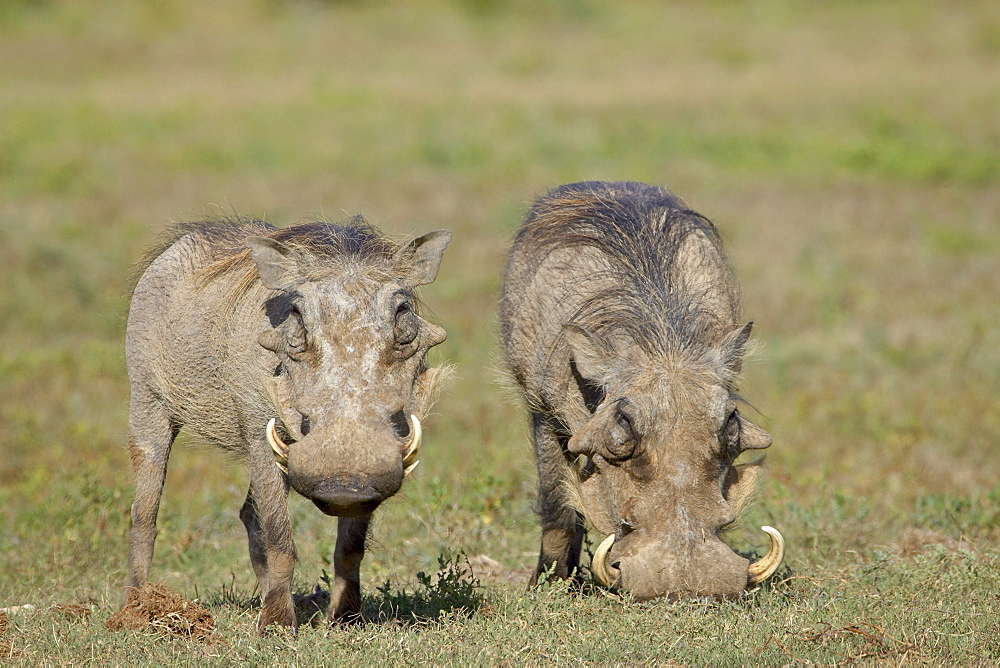 Two warthog (Phacochoerus aethiopicus), Addo Elephant National Park, South Africa, Africa