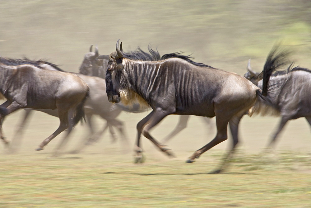 Blue wildebeest (brindled gnu) (Connochaetes taurinus) herd running, Ngorongoro Conservation Area, Tanzania, East Africa, Africa