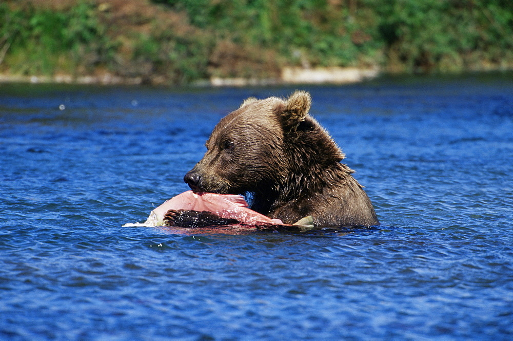 Alaskan brown bear (Ursus middendorffi), Katmai National Park and Preserve, Alaska, United States of America, North America
