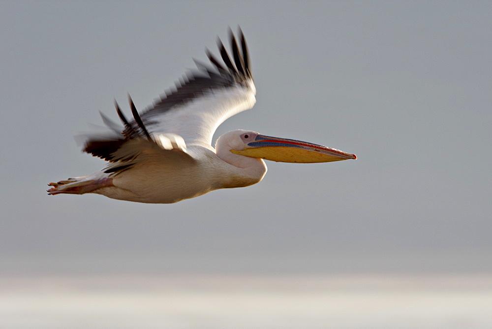Great white pelican (Eastern white pelican) (Pelecanus onocrotalus) in flight, Lake Nakuru National Park, Kenya, East Africa, Africa