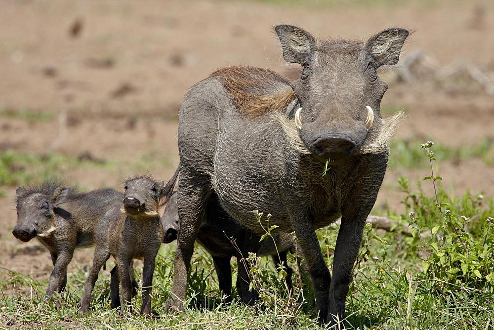 Mother and baby Warthog (Phacochoerus aethiopicus), Masai Mara National Reserve, Kenya, East Africa, Africa