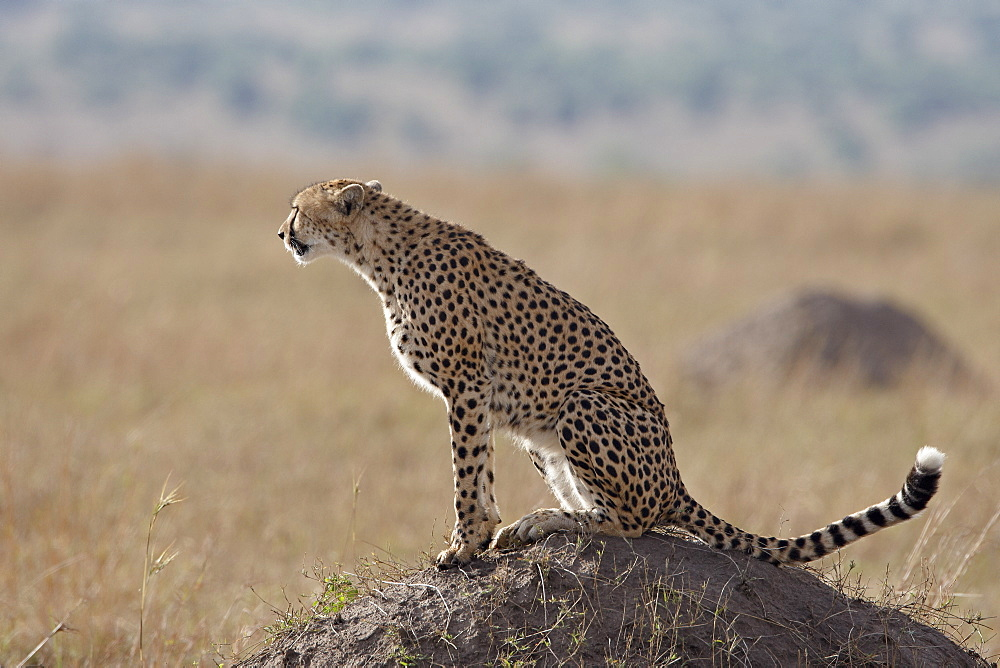 Cheetah (Acinonyx jubatus) sitting on an old termite mound, Masai Mara National Reserve, Kenya, East Africa, Africa
