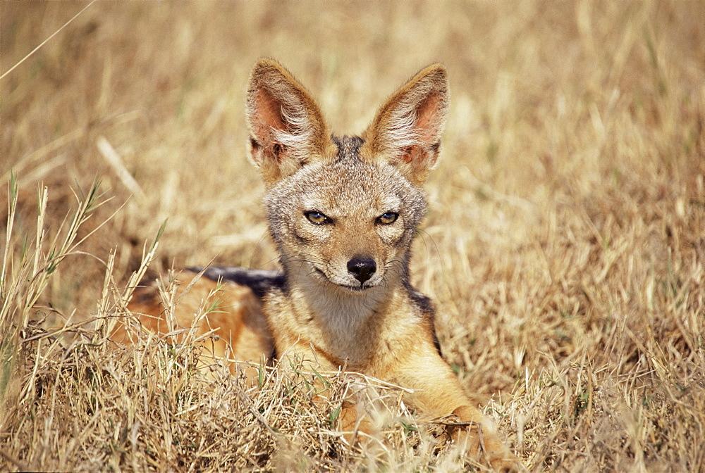 Black-backed jackal (Canis mesomelas), Ngorongoro Crater, Tanzania, East Africa, Africa