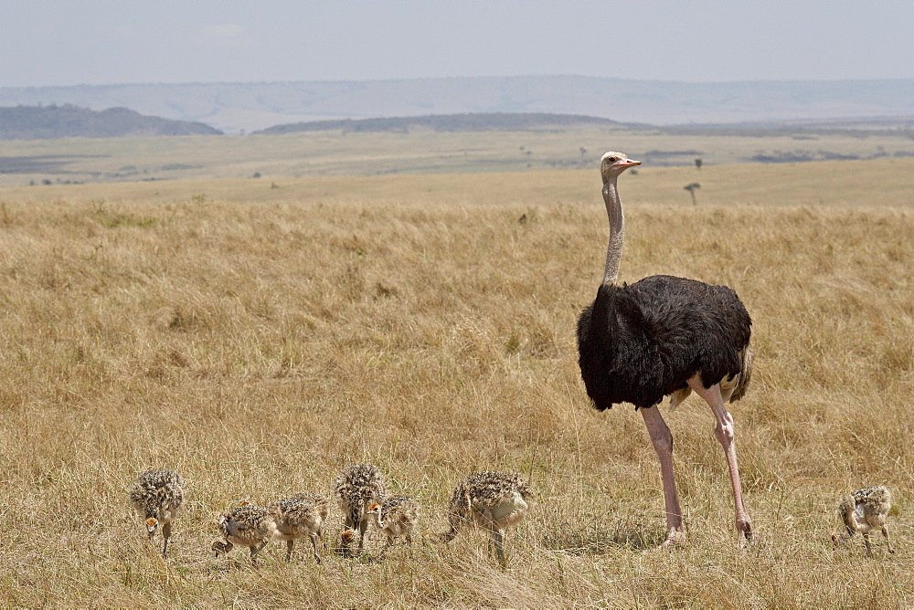 Common ostrich (Struthio camelus) male watching chicks, Masai Mara National Reserve, Kenya, East Africa, Africa