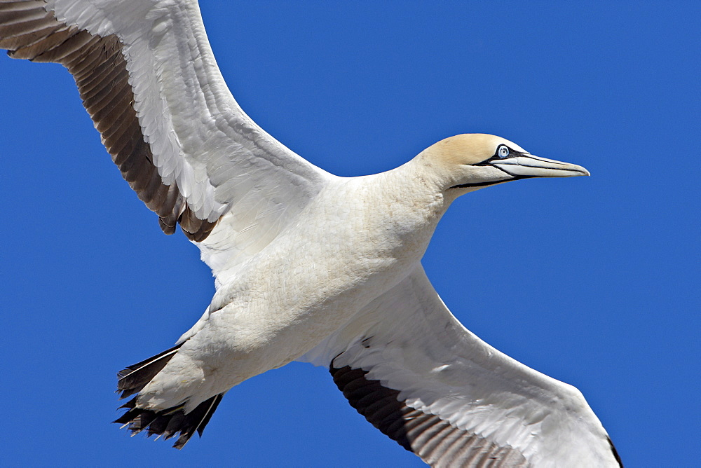 Cape gannet (Morus capensis) in flight, Bird Island, Lambert's Bay, South Africa, Africa - 764-1586