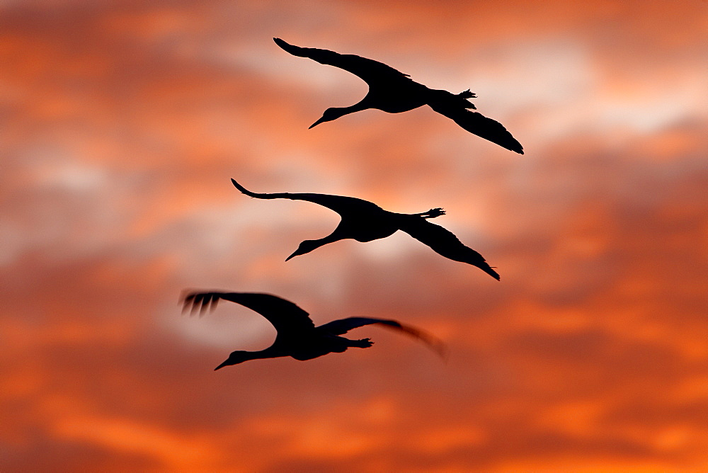 Three Sandhill Cranes (Grus canadensis) in flight silhouetted against red clouds, Bernardo Wildlife Area, Ladd S. Gordon Wildlife Complex, New Mexico, United States of America, North America - 764-1680