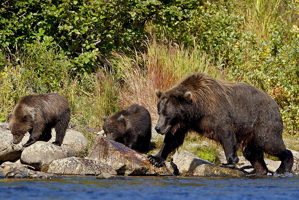 Brown Bear (Ursus arctos horribilis) sow and two cubs, Katmai National Park and Preserve, Alaska, United States of America, North America