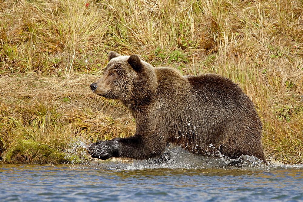 Brown Bear (Ursus arctos horribilis) running through water, Katmai National Park and Preserve, Alaska, United States of America, North America