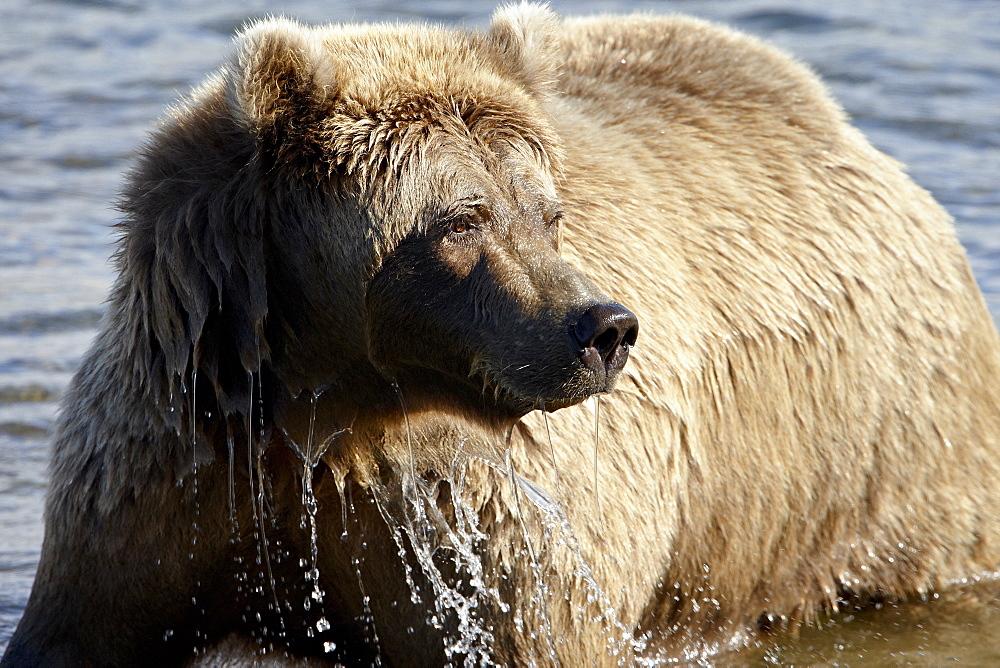 Brown Bear (Ursus arctos horribilis) in Moraine Creek, Katmai National Park and Preserve, Alaska, United States of America, North America