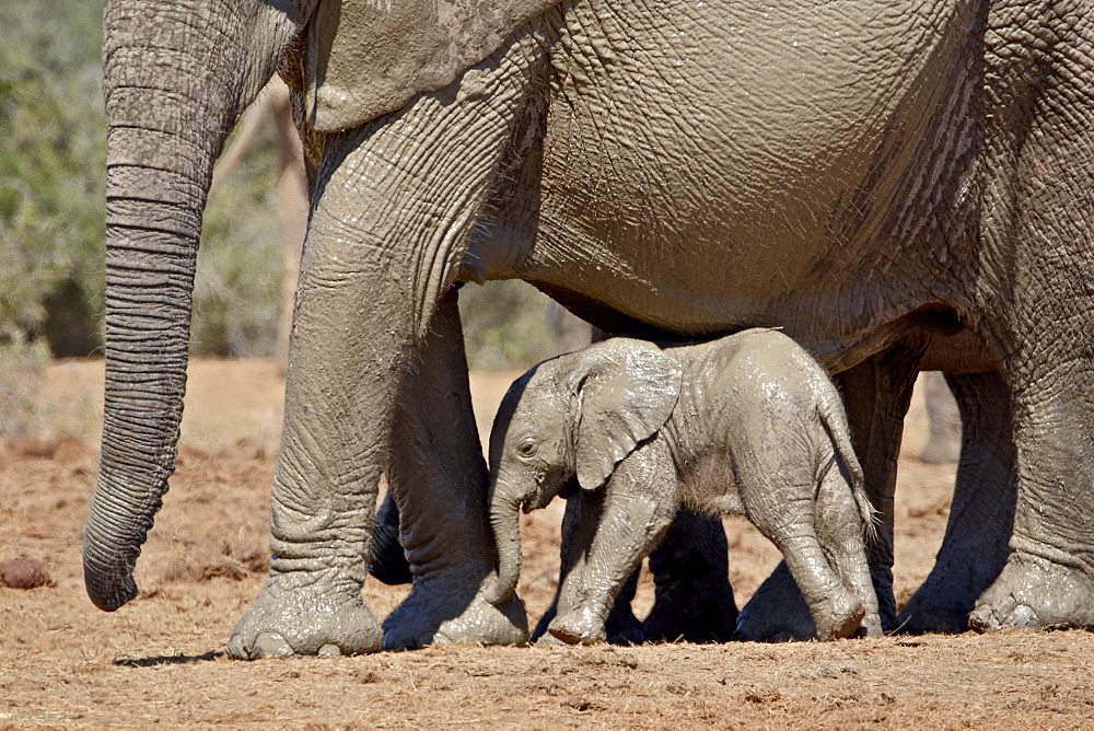 Baby African Elephant (Loxodonta africana) standing under its mother, Addo Elephant National Park, South Africa, Africa