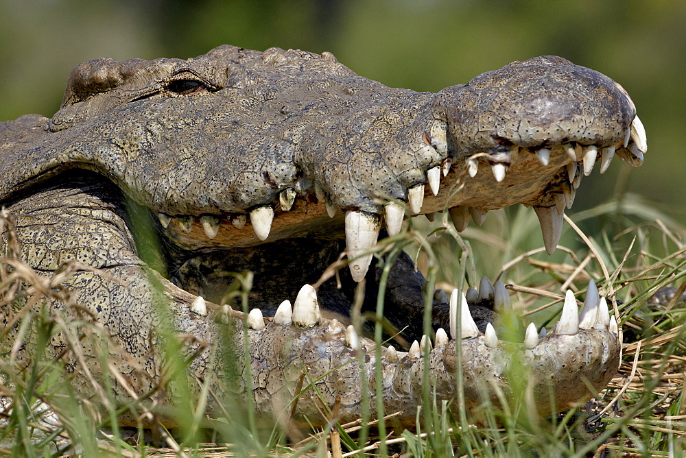 Nile Crocodile (Crocodylus niloticus) with mouth open, Kruger National Park, South Africa, Africa