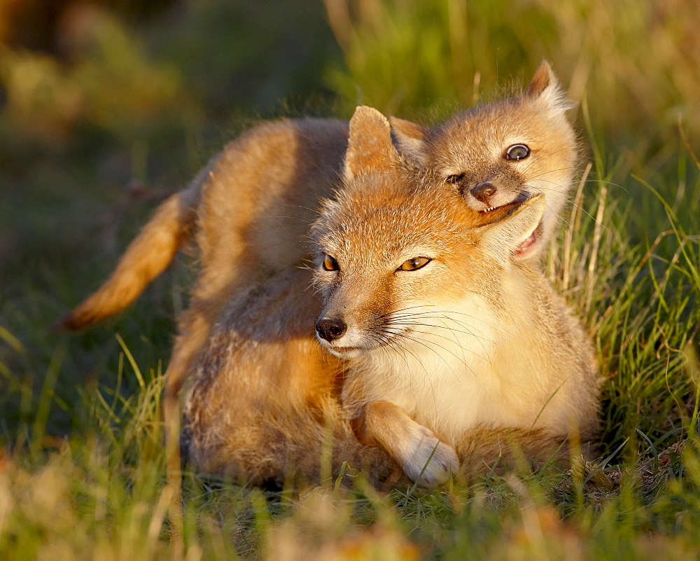 Swift fox (Vulpes velox) kit biting its mother's ear, Pawnee National Grassland, Colorado, United States of America, North America
