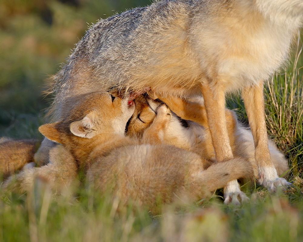 Swift fox (Vulpes velox) kits nursing, Pawnee National Grassland, Colorado, United States of America, North America