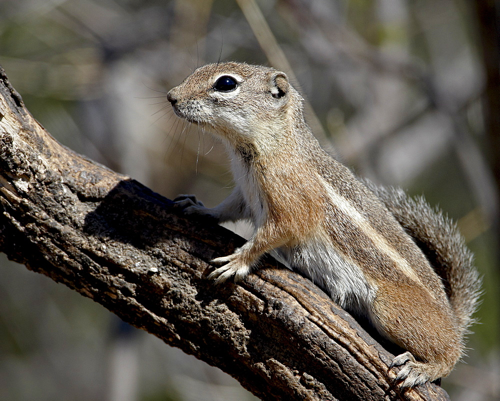 Yuma antelope squirrel (Harris's antelope squirrel) (Ammospermophilus harrisii), Chiricahuas, Coronado National Forest, Arizona, United States of America, North America