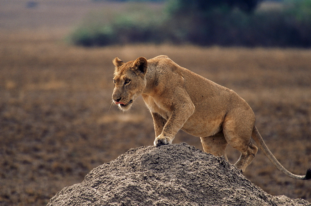 Lion (Panthera leo) on termite mound, Queen Elizabeth National Park, Uganda, East Africa, Africa