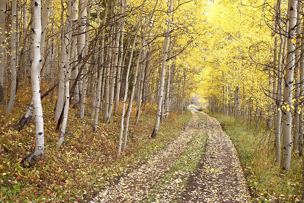 Lane through fall aspens, Ophir Pass, Uncompahgre National Forest, Colorado, United States of America, North America