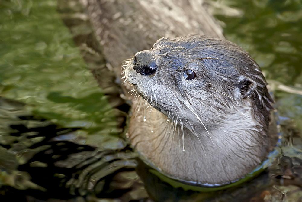 Captive river otter (Lutra canadensis) swimming, Arizona Sonora Desert Museum, Tucson, Arizona, United States of America, North America