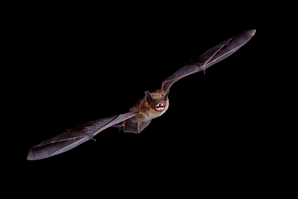 Big brown bat (Eptesicus fuscus) in flight, in captivity, Hidalgo County, New Mexico, United States of America, North America
