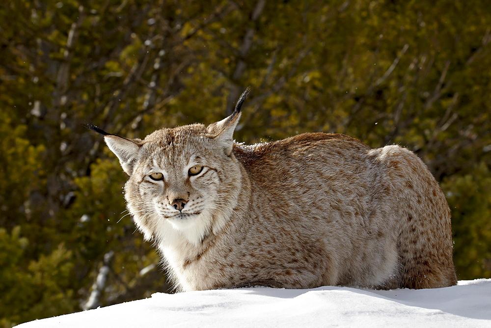 Captive Siberian lynx (Eurasian lynx) (Lynx lynx) in the snow, near Bozeman, Montana, United States of America, North America