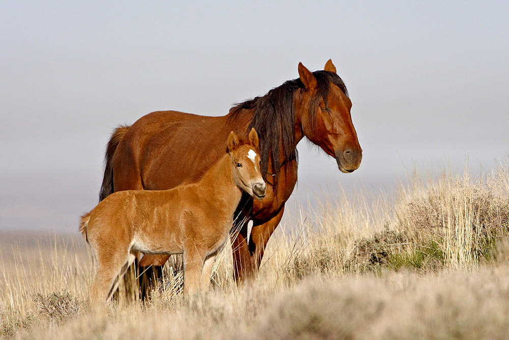 Wild horse (Equus Caballus) mare and foal, Green River, Wyoming, United States of America, North America