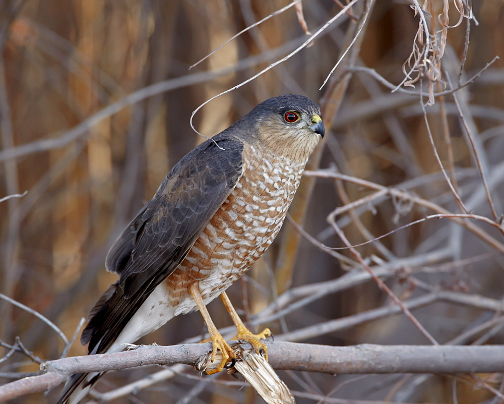 Sharp-Shinned Hawk (Accipiter striatus), Bosque del Apache, National Wildlife Refuge, New Mexico, USA