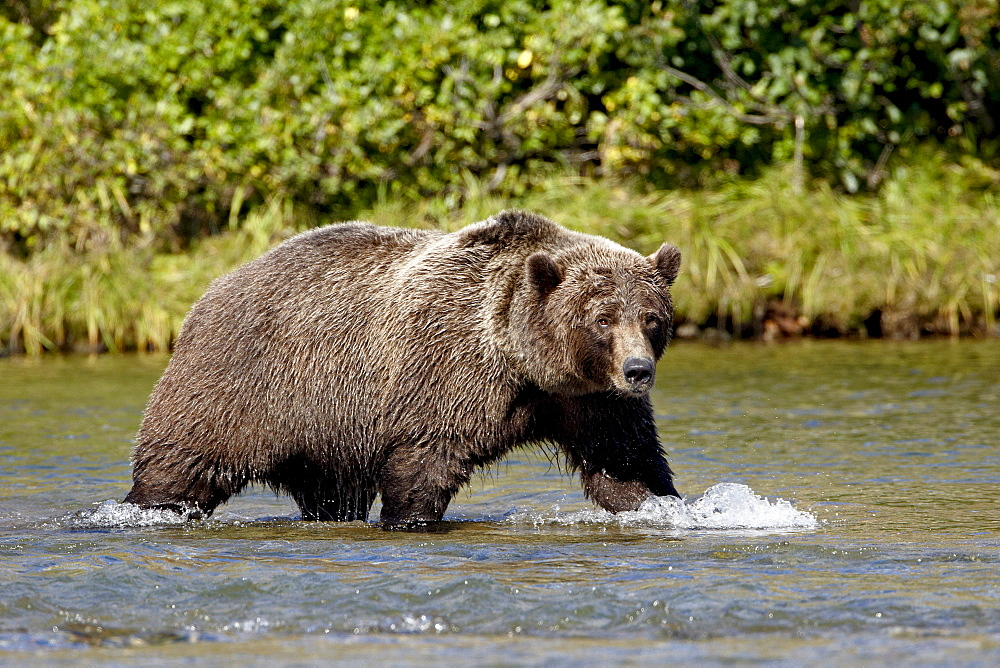 Grizzly bear (Ursus arctos horribilis) (Coastal brown bear) walking in a stream, Katmai National Park and Preserve, Alaska, United States of America, North America