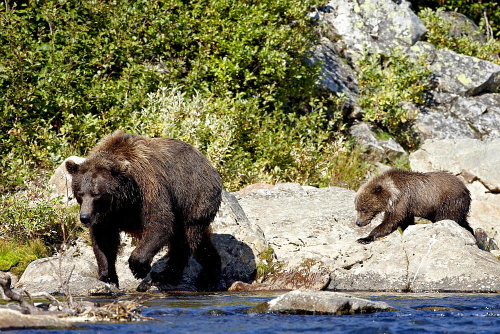 Grizzly bear (Ursus arctos horribilis) (Coastal brown bear) sow and spring cub walking along a stream, Katmai National Park and Preserve, Alaska, United States of America, North America