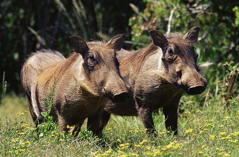 Warthogs (Phacochoerus aethiopicus), Addo Elephant National Park, South Africa, Africa