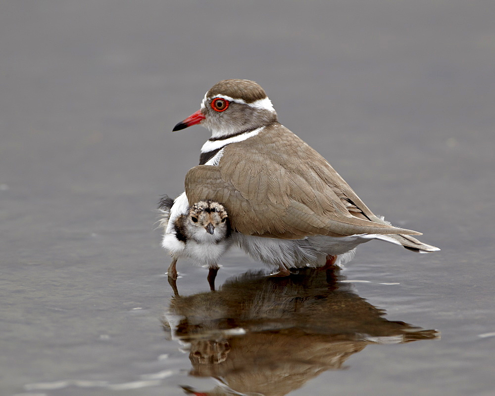 Three-banded plover (Charadrius tricollaris) adult and chick, Kruger National Park, South Africa, Africa