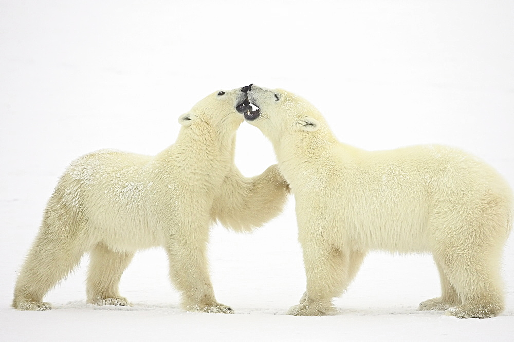 Two polar bears (Thalarctos maritimus) playing, Churchill, Manitoba, Canada, North America - 764-271