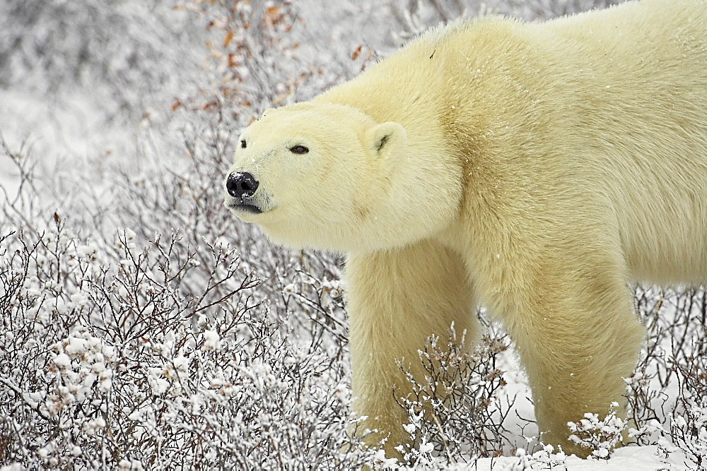 Polar bear (Thalarctos maritimus) standing among willow, Churchill, Manitoba, Canada, North America - 764-273