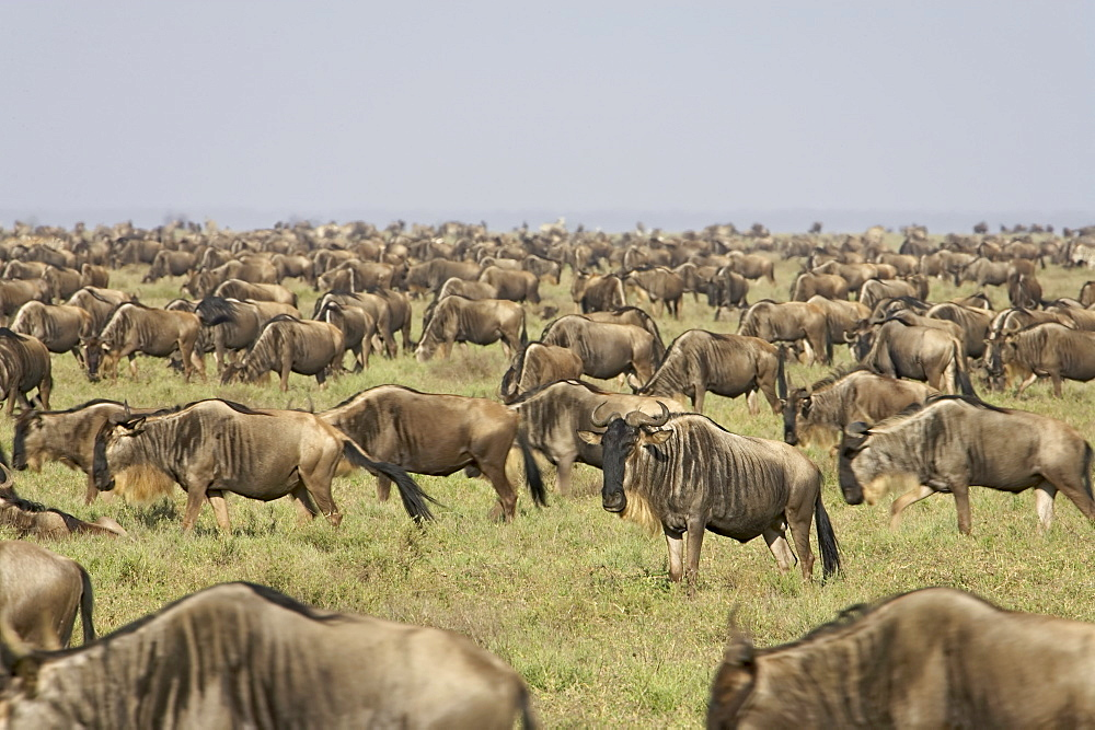 Herd of blue wildebeest (brindled gnu) (Connochaetes taurinus), Serengeti National Park, Tanzania, East Africa, Africa - 764-300