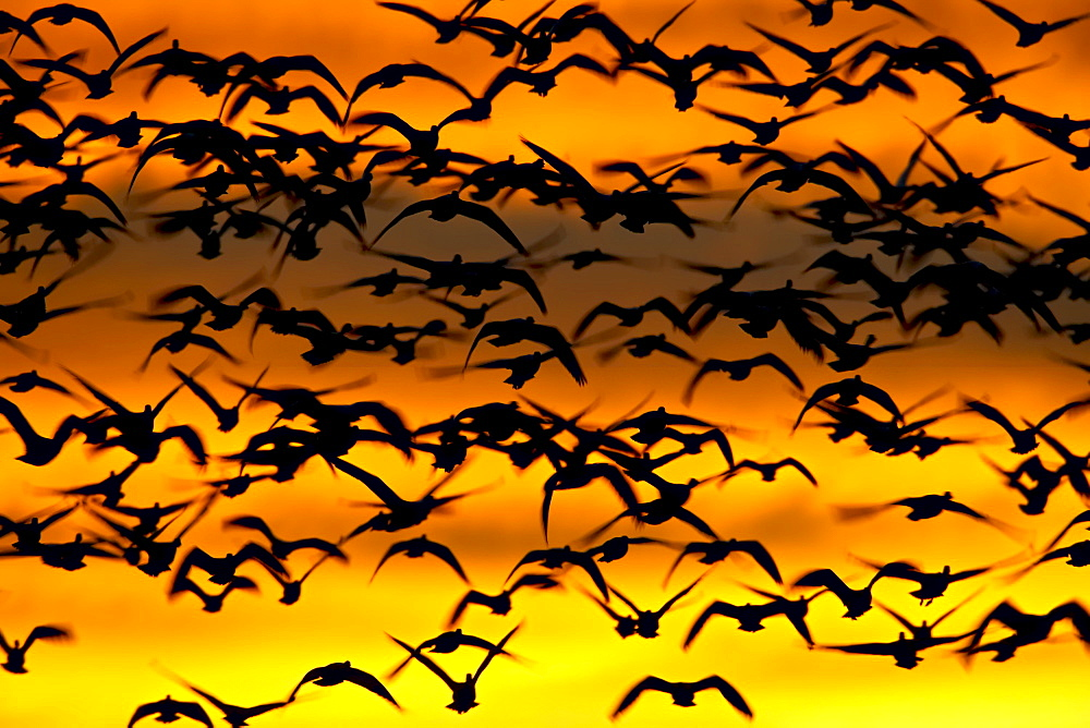 Snow goose (Chen caerulescens) flock at dawn after a blast off, Bosque Del Apache National Wildlife Refuge, New Mexico, United States of America, North America