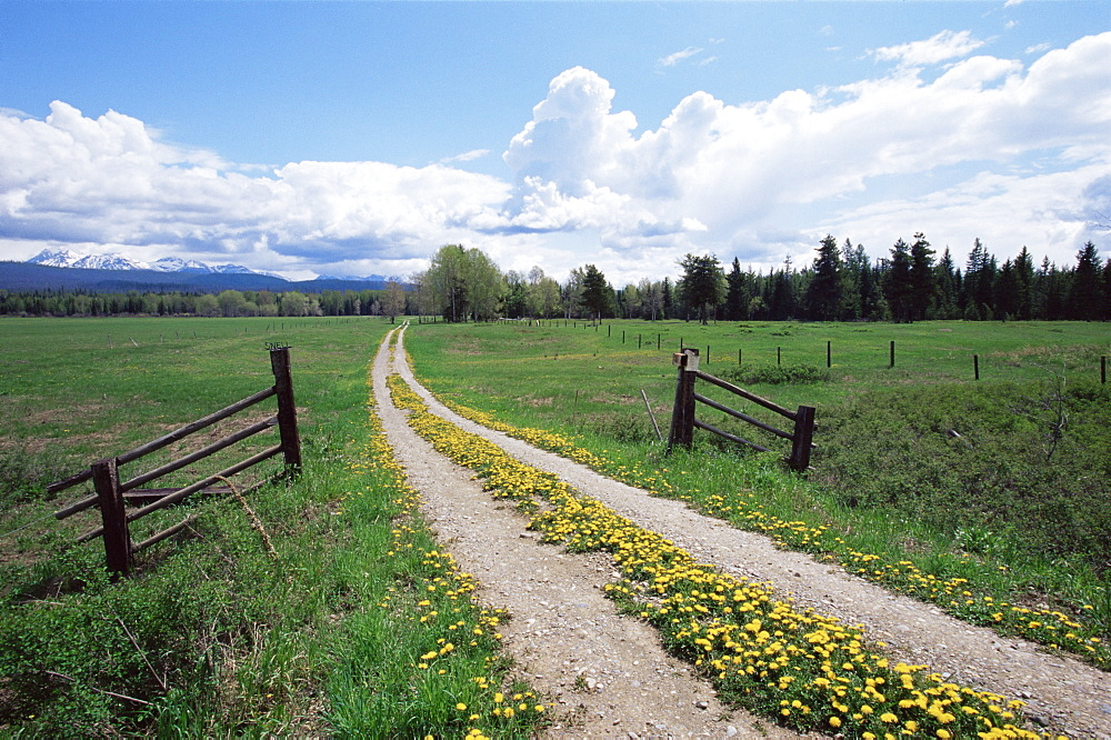 Driveway with common dandelion (Taraxacum officinale) in flower, near Glacier National Park, Montana, United States of America, North America