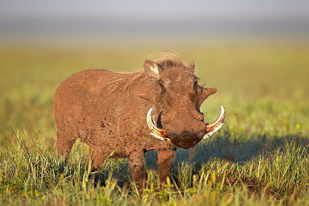 Warthog (Phacochoerus aethiopicus), Ngorongoro Crater, Tanzania, East Africa, Africa