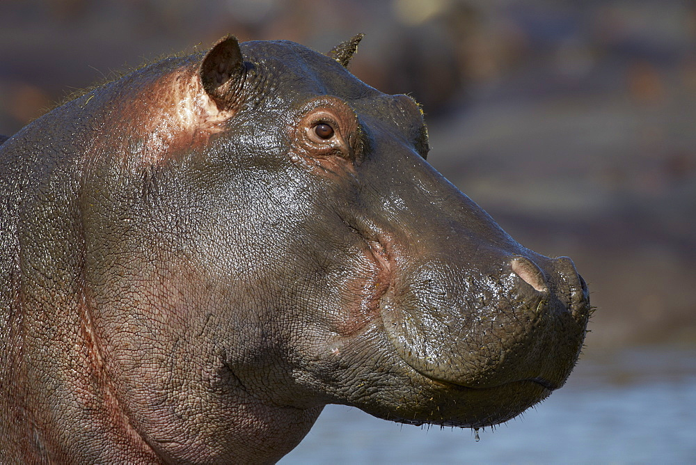 Hippopotamus (Hippopotamus amphibius), Serengeti National Park, Tanzania
