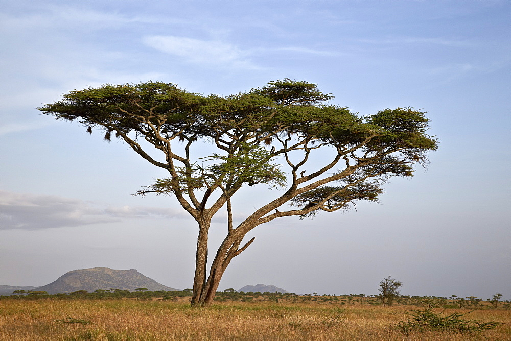 Acacia tree, Serengeti National Park, Tanzania, East Africa, Africa