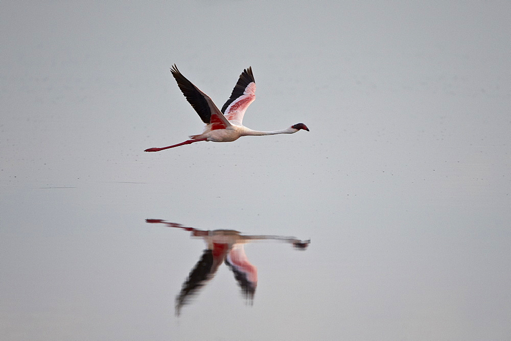 Lesser flamingo (Phoeniconaias minor) in flight, Serengeti National Park, Tanzania, East Africa, Africa