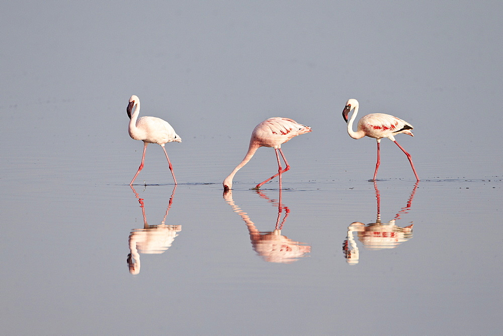 Line of lesser flamingo (Phoeniconaias minor), Serengeti National Park, Tanzania, East Africa, Africa