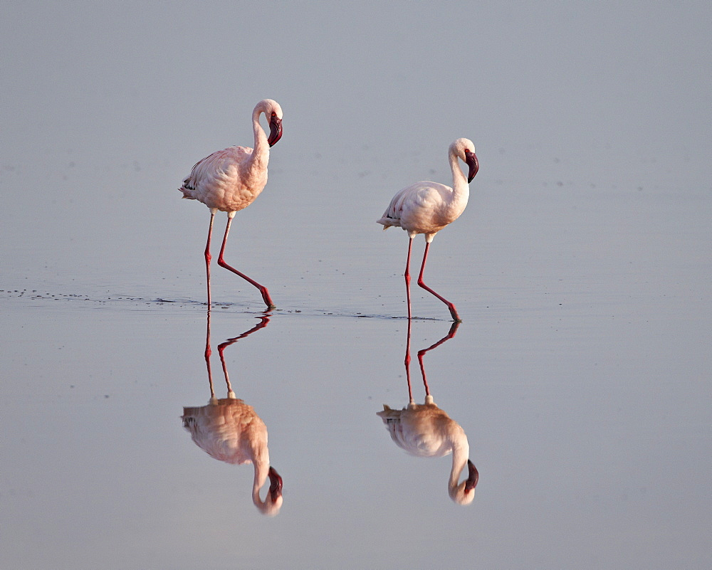 Two lesser flamingo (Phoeniconaias minor), Serengeti National Park, Tanzania, East Africa, Africa