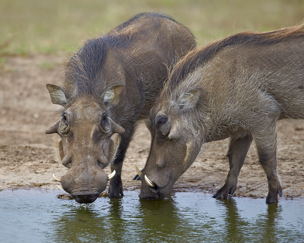 Two warthog (Phacochoerus aethiopicus) at a water hole, Addo Elephant National Park, South Africa, Africa