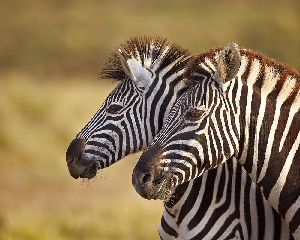 Tow common zebra (Plains zebra) (Burchell's zebra) (Equus burchelli), Addo Elephant National Park, South Africa, Africa