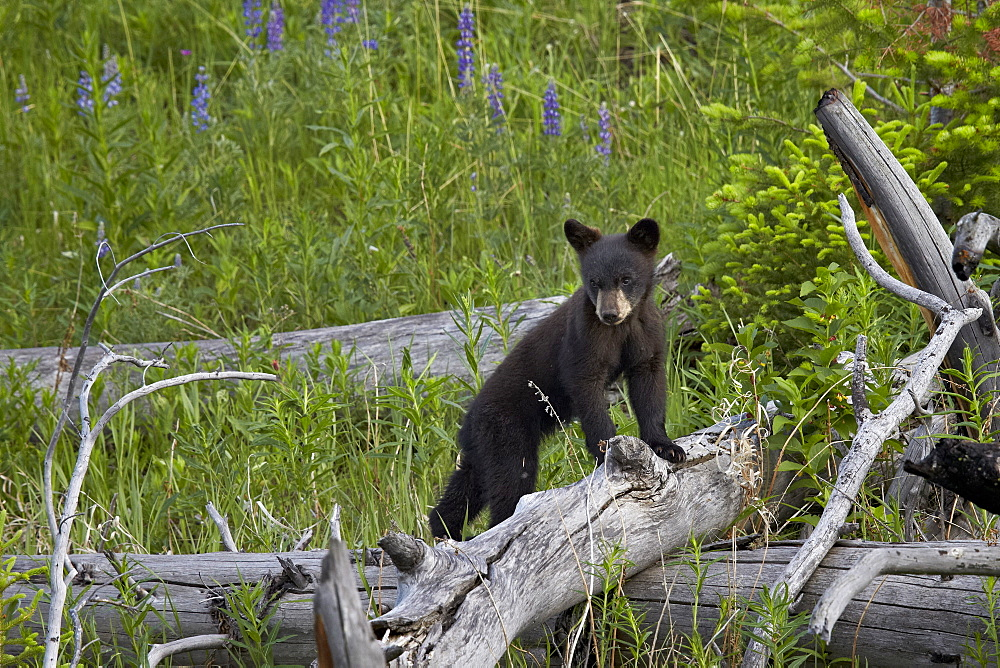 Black Bear (Ursus americanus) cub of the year, Yellowstone National Park, Wyoming, United States of  America, North America