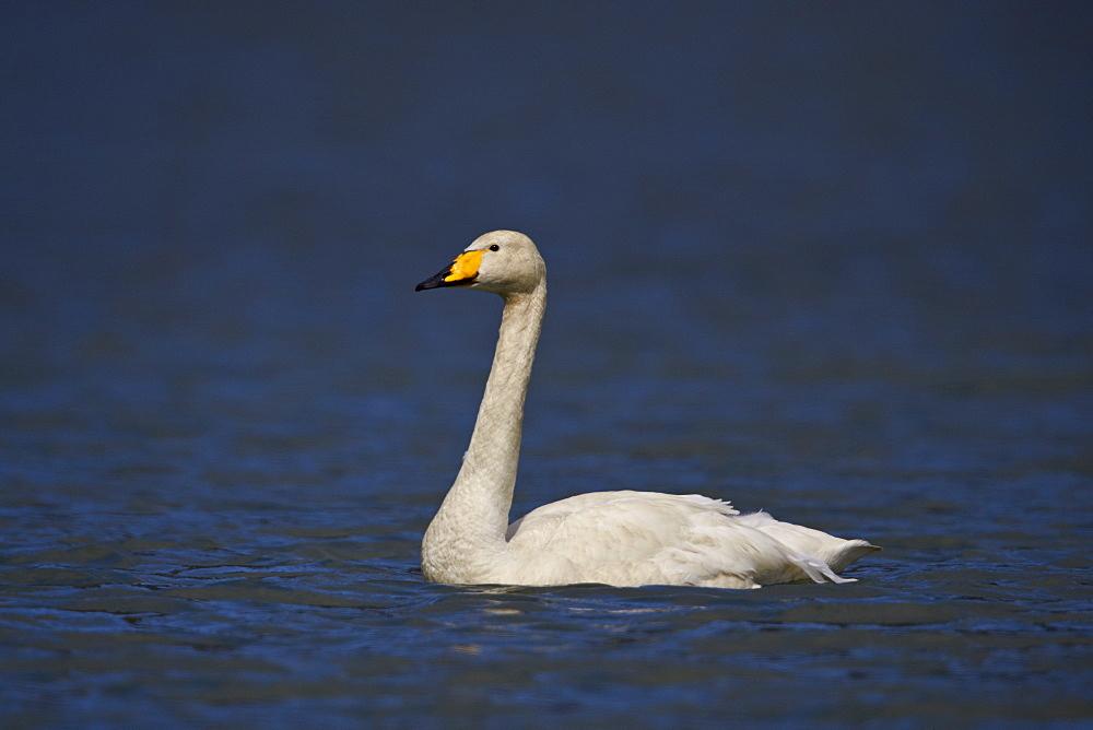 Whooper Swan (Cygnus cygnus) swimming, Iceland, Polar Regions