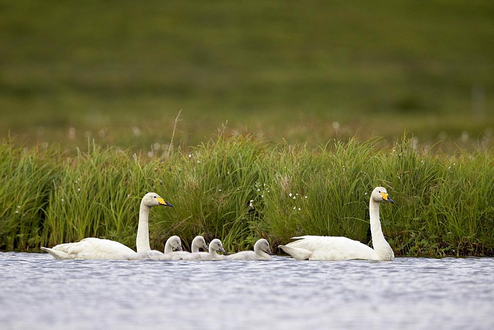 Whooper Swan (Cygnus cygnus) and four cygnets swimming, Iceland, Polar Regions