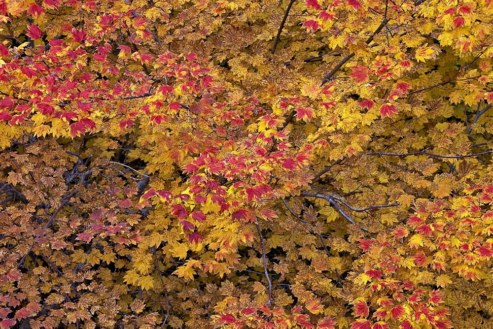 Vine maple (Acer circinatum) in the fall, Mount Hood National Forest, Oregon, United States of America, North America