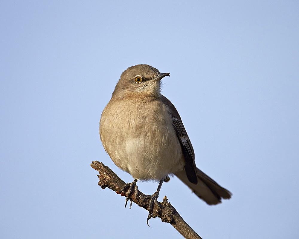 Northern Mockingbird (Mimus polyglottos), Overton Wildlife Management Area, Overton, Nevada, United States of America, North America